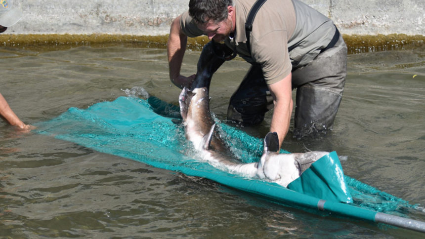 Giant sturgeon get a new home in Idaho Falls2_1570658874503.jpg_39497491_ver1.0_1280_720