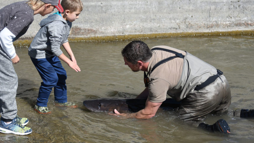 Giant sturgeon get a new home in Idaho Falls3_1570658876452.jpg_39497493_ver1.0_1280_720