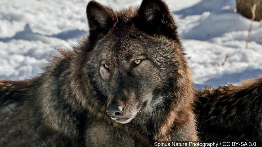 wolf logo gray wolf_1556738145168.jpg_38252284_ver1.0_1280_720